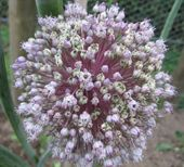 Elephant (Russian) garlic (allium ampeloprasum) also known as wild leek - grow under apple trees to protect against woolly aphids