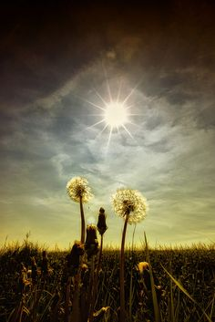 Gardens:  Some people think dandelions are just weeds....