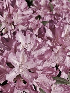 591936183690 Pretty in Pink by Richard Brookes. Desaturated full frame macro of  rhododendron flower petals in a garden here on the North Devon and Cornwall  border