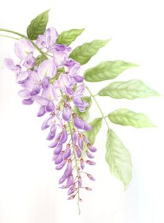 wiseria art | Wisteria Plant - Watercolour Painting by Richmond Surrey Artist ...