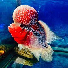 "FLOWERHORN PetFish ® on Instagram: ""😍 : ☝️segue a gente ☝️ ♥️🐟♥️ : #louhan #flowerhorn #flowerhornfish #flowerhornbrasil #aquarismobrasil #aquarismojumbo #aquarismo #jumbo…"" Freshwater Aquarium Fish, Fresh Water, Horns, Pets, Instagram, Flowers, Animals, Horn, Animales"