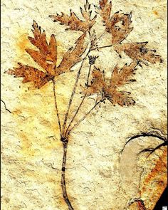 125-million-year-old fossil of a flowering plant | #Geology #GeologyPage #Fossil  Photo Copyright  Smithsonian  Geology Page www.geologypage.com