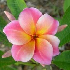 Plumeria care-fell in love with this flagrant flower in Maui and now want it in our garden!!