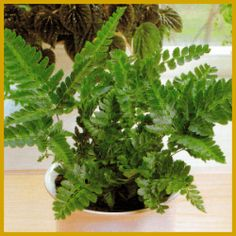 Zimmerpflanzen Die Direkte Sonne Vertragen flügelfarn gehört zur großen familie der saumfarne die wedel des