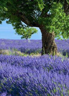 Olive tree in Lavender field