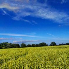 Bright yellow field in Sussex.. #yellowfield #crops #colour #nature #southeast #agriculture #bikeride #contrast #summer #sky #southdowns #nationaltrust #landscape #landmark #amazingsky #bright