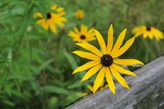 Black Eyed Susan Photograph - Yellow Flower - Nature Photography by NJS images   #homedecor