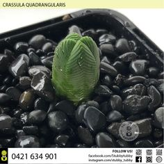 Quality succulents, cacti and houseplants for sale - Adelaide, SA, Australia Succulents For Sale, Houseplants, Blueberry, Roots, Cactus, Canning, Fruit, Natural, Plants