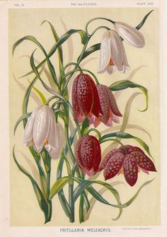 1890s Gorgeous Antique Chromolithograph of the by bananastrudel, $35.00