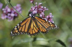 LN Landscape: The Monarchs are Missing!