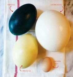 These eggs are simply ginormous! If you want to feed a crowd, you simply need one egg and some fun ostrich egg recipes like these.