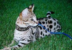 Savannah breed information