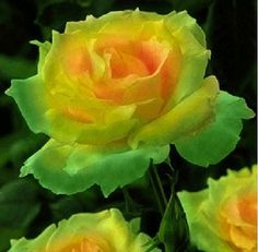 Green Golden Celebration Rose