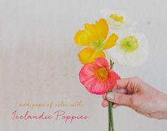 Icelandic Poppies - so sweet!