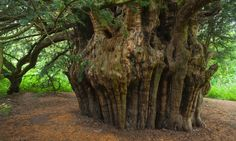 The oldest living Yew tree in Europe is said to be the Fortingall Yew in Scotland, near Loch Tay and it has been estimated to be between 3,000 and 9,000 years old. The Celts associated the Yew with everlasting life. The Druids believed in the 'natural law of reincarnation' where the soul becomes reborn as another person. The Yew was seen as a protector of the soul during the journey to the Otherworld. Its needles were also used in rituals to communicate with the dead.