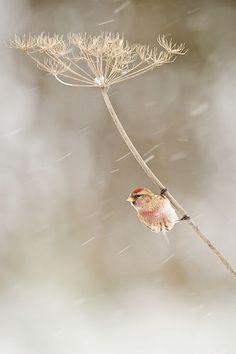 Lesser Redpoll (Male on Hogweed) |