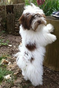 All About Fun Shih Tzu Puppies Grooming Happy Dog Grooming, Havanese Grooming, Havanese Puppies, Cute Puppies, Dogs And Puppies, Maltipoo, Labradoodle, Cavapoo, Havanese Full Grown