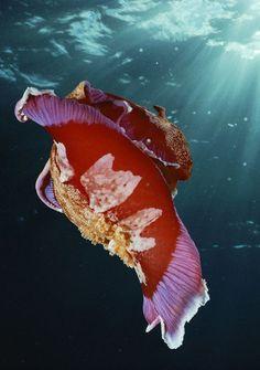 Spanish Dancer Nudibranch Doubilet