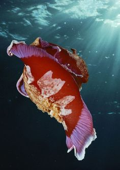 Spanish Dancer Nudibranch. Supreme beauty exists as Earth's creature. #nudibranch #seaslug #ocean #marinelife