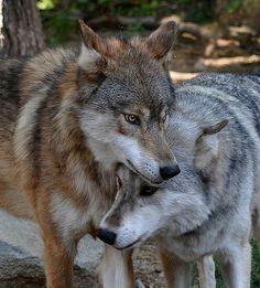 Wolves of Summer | Flickr - Photo Sharing!