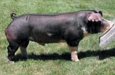 Poland China Pig - Facts about Poland China Pigs. The Poland China Pig is a domestic pig breed that has been derived from several breeds of pig developed in the