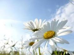 Bildergebnis für margeriten Bouquet Tattoo, Tattoo Project, Nature, Flowers, Plants, Pictures, Flora, Nature Illustration, Royal Icing Flowers