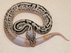 Leopard Pewter Bee Pied - Morph List - World of Ball Pythons Pretty Snakes, Beautiful Snakes, Cute Reptiles, Reptiles And Amphibians, Snake Breeds, Python Royal, Snake Photos, Types Of Snake, Burmese Python
