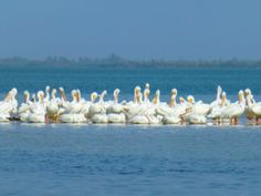 white-pelicans-Captiva-Florida. I've seen these they are beautiful!