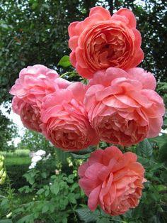 Любимые розы в моем саду - Натали Карацюба - Веб-альбомы Picasa