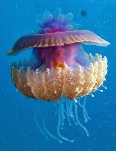 Cephea true jellyfish