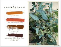 naturally dyeing with eucalyptus