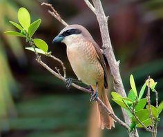 红尾伯劳  Brown Shrike (Lanius cristatus), female ※过境鸟、冬候鸟, photo by 震山風