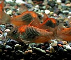 Corydoras venezuelanus Orange.