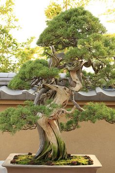 真柏 Shimpaku  (Japanese Juniper) - 盆栽美術館 - bonsai museum by Norio.NAKAYAMA, via Flickr