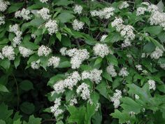 Gray Dogwood (Cornus racemosa Lam.) - Flowering Trees, Bushes and Shrubs of Sleepy Hollow Lake - An All Creatures Photo Gallery - creation, earth, environment, ecology, plants, trees, animal, animals, fine art, watercolor painting, paintings, pic, pics, p