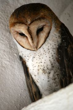 This Galapagos barn owl lives with its mate on a shelf in the changing room at the pool of a restaurant on Isabela Island.  Photo Credit: Donated by Roy Wise