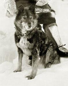 Togo.  Hay un debate respecto a que Togo fue el que hizo la mayor parte del recorrido del suero a Nome.  Al parecer Balto fue el que lo terminó y se ganó la fama.  Pero por supuesto cada perro que participó en el recorrido debió ganar el agradecimiento y respeto de las personas que salvaron y ayudaron.