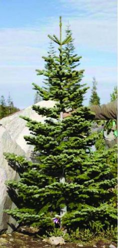 Silvertip Fir::Very popular in the western U.S. It's very symmetrical-smells wonderful and has silvery blue tips at ends of the branches. This tree is for the modernist or minimalist decorator who likes a clean architectural look to a tree. Decorators  also like wide spaces between the branches with plenty of room to showcase ornaments.