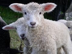 'ram lambs' from moonmeadow's photostream on flickr