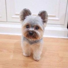 PUSH and choose your beloved pet . Image 1 of 31 Teacup Yorkie, Teacup Puppies, Cute Puppies, Cute Dogs, Animals And Pets, Funny Animals, Cute Animals, Puppy Haircut, Dog Haircuts