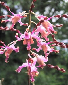The orchid Dendrobium 'Margaret Thatcher' at the National Orchid Garden…