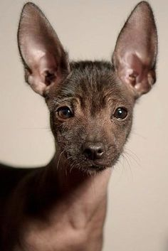 The Xoloitzcuintli pronounced SHOW-LOW-ETZ-QUEENT-LEE is also known as the Mexican Hairless Dog. The breeds history is long and fascinating going all 3500 years back to the Aztecs and Mayans. Rare Dogs, Rare Dog Breeds, Cute Dogs Breeds, Cute Puppies, Dogs And Puppies, Doggies, Adorable Dogs, Hairless Animals, Animals Beautiful