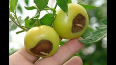 Having trouble growing your tomato plants? Here's a list of the 10 most common tomato plant diseases, and how to heal them (or avoid them entirely). Tomato Plant Diseases, Pruning Tomato Plants, Tomato Growers, Tomato Seedlings, Culture Tomate, Growing Tomatoes In Containers, Grow Tomatoes, Baby Tomatoes, Cherry Tomatoes