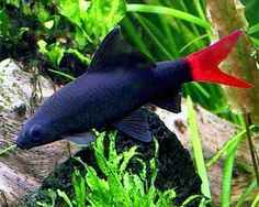 The red-tailed black shark (Epalzeorhynchos bicolor), also known as the redtail shark and Labeo bicolor, is a species of freshwater fish in the carp family, Cyprinidae. Should only have one of these in a tank as they may get territorial with others of their kind.