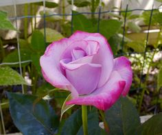 Early-season Rose by Donald Kinderman on 500px