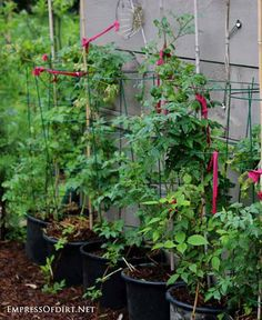 Tomatoes in pots supported with tomato cages at Empress of Dirt