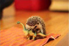 Erizo bebé muerde un dinosaurio de plástico