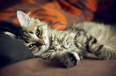 Animal Cat  Kitten Relax Wallpaper