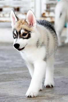 Husky with the dusky eyes Died! I just died from the cuteness!!!!!!