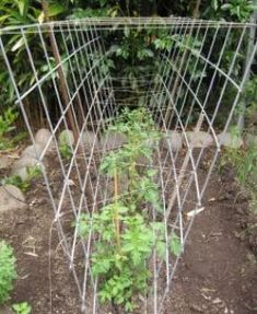 Tomato cage for multiple tomatoes.